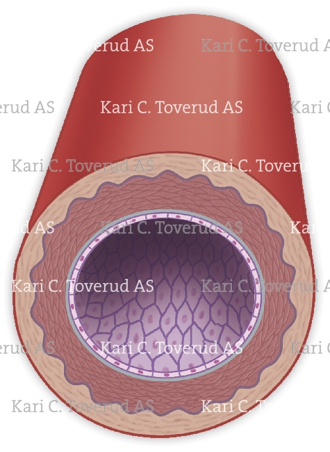 Cross section of a muscular artery. Request information on how to purchase